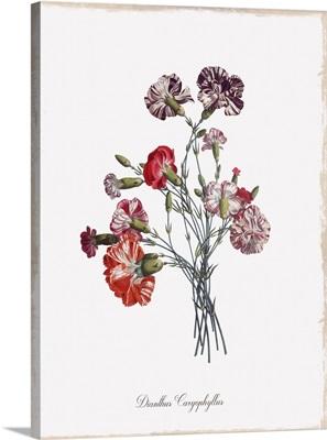 Botanical Carnation