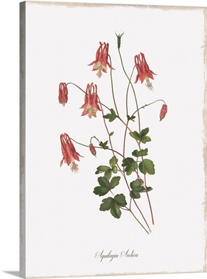 Botanical Columbine