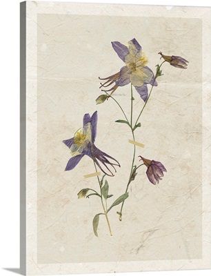 Pressed Columbine II