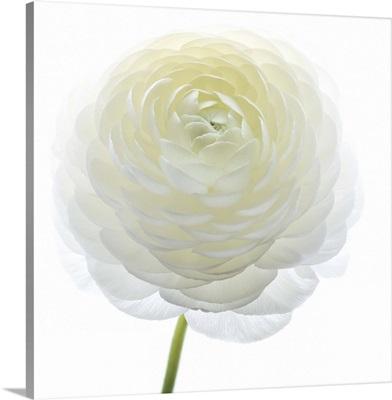 White Beauty IV