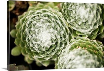 Arachnoideum Succulent II