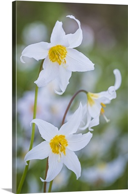Avalanche Lily I