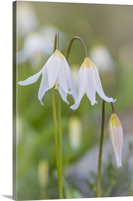 Avalanche Lily II