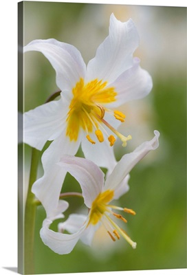 Avalanche Lily III