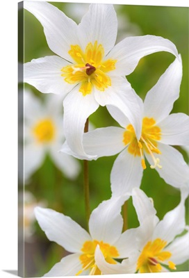 Avalanche Lily IV