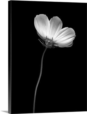Ballet Flower II B