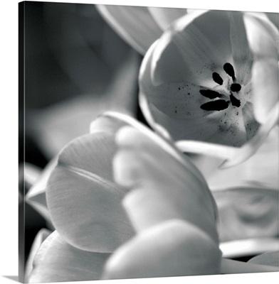 Black and White Tulips I