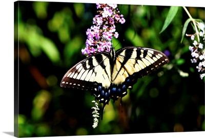 Black Swallowtail I