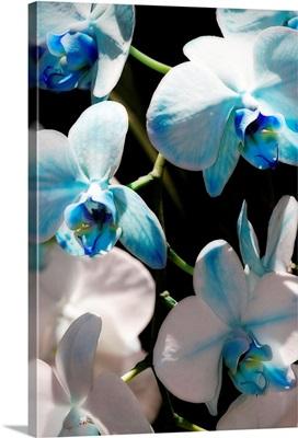 Blue Moth Orchids I