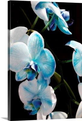 Blue Moth Orchids II