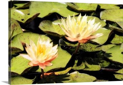 Blushing Lilies I