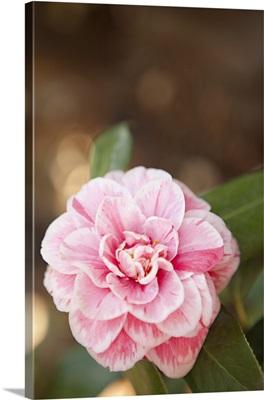 Bokeh Rose I