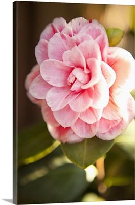 Bokeh Rose II