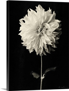 Dahlia Wall Art Canvas Prints Dahlia Panoramic Photos Posters Photography Wall Art Framed Prints Amp More Great Big Canvas
