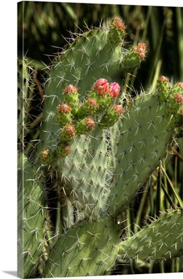 Cactus Flowers II