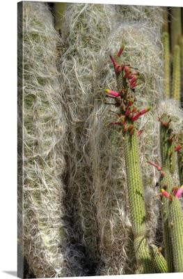 Cactus Flowers IV