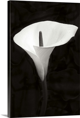 Calla Lily Perfection III