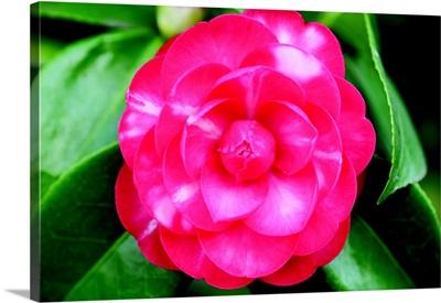 Camellia Flower I