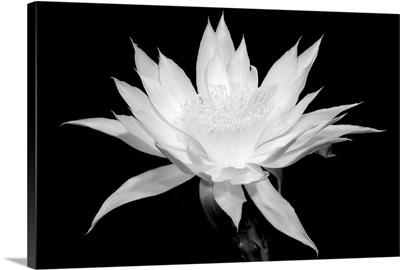 Cereus - Black and White
