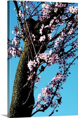 Cherry Blossom III