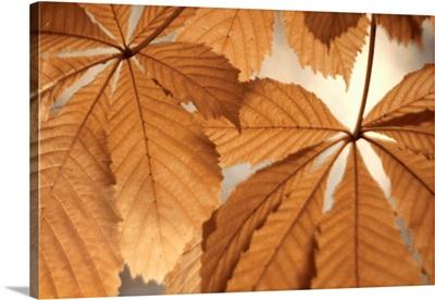 Chestnut Leaves Duet I Brown