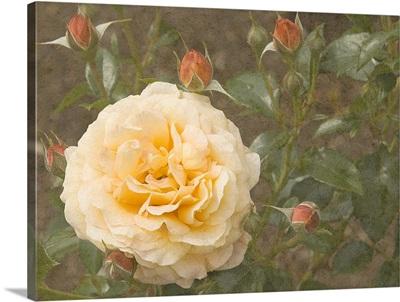 Christchurch Yellow Roses