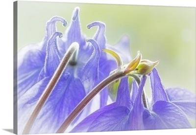 Columbine Flowers II