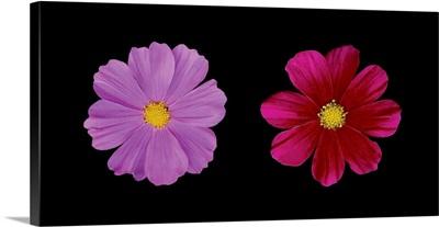 Cosmos Flower Duet