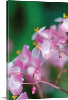 Delicate Begonia II