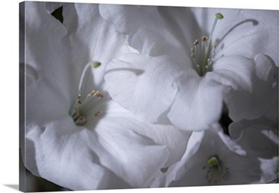 Delicate Blossoms II