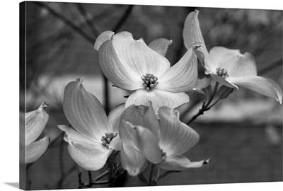 Dogwood Blossoms Black and White I