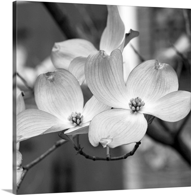 Dogwood Blossoms Black and White II, Square