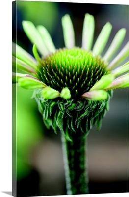 Echinacea IV
