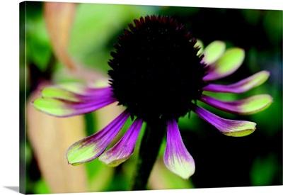 Echinacea VI