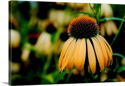 Echinacea VII