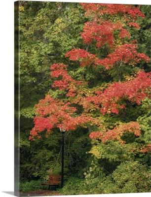 Fall Maple Fever VIII