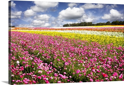 Field of Flowers IV