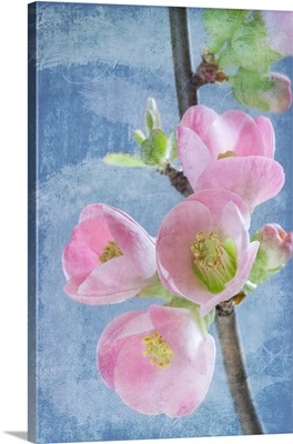 Flowering Quince I