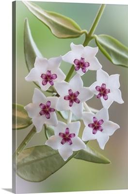 Hoya Bella Blooms I