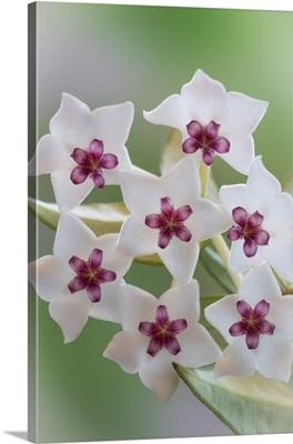 Hoya Bella Blooms II