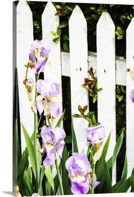 Iris on a Fence