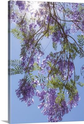 Jacaranda Tree II