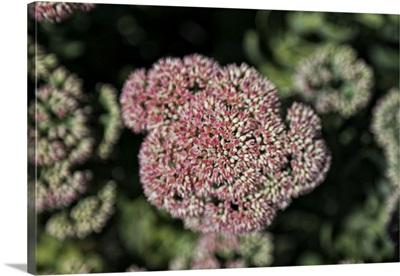 Kalanchoe Blossom I