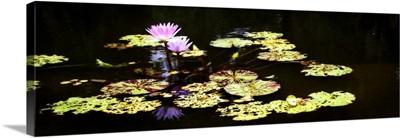Lake Lilies I
