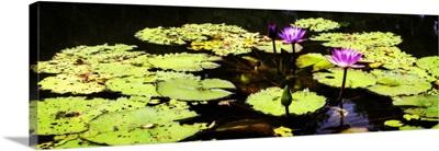 Lake Lilies II