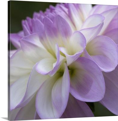 Lavender Dahlia IV