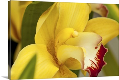 Lemon Orchid I
