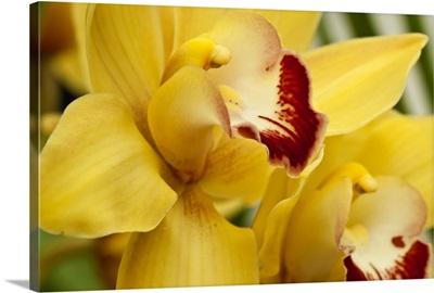 Lemon Orchid II