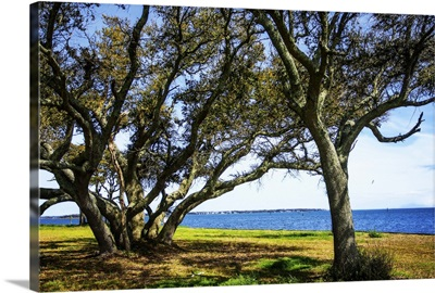 Live Oaks By The Bay I