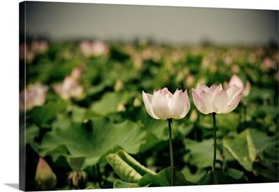 Lotus Flowers I